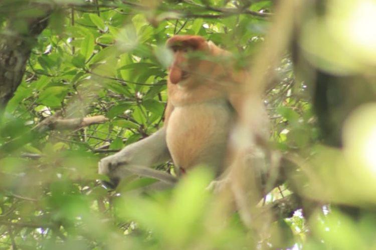 Jepretan kamera salah satu pengunjung wisata hutan magrove BelagaOne Nunukan Kaltara, ada lebih 10 Bekantan di hutan mangrove dan teranc perburuan liar