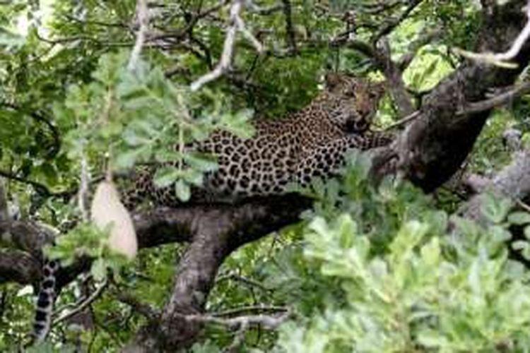 Seekor macan tutul di Taman Nasional Krueger, Afrika Selatan.