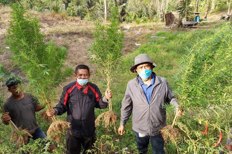 Foto: Polisi mencabut sekitar 50 batang tanaman Ganja di Juma Gotting, Dusun Sindar Dolok Nagori Mariah Dolok, Kecamatan Dolok Silau, Kabupaten Simalungun, Jumat (7/5/2021) sore.| Dok: Polres Simalungun.