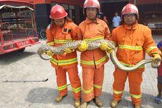 Petugas Pemadam Kebakaran Gresik Tangkap Ular Piton