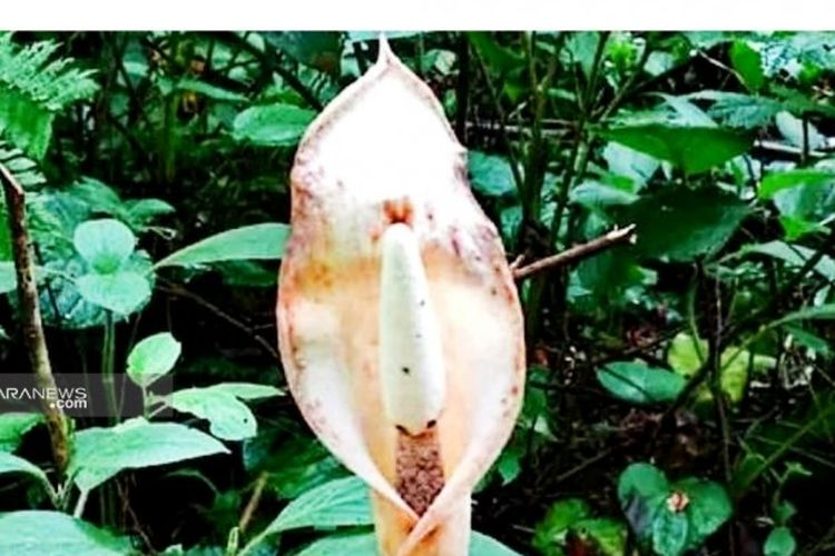 Flora dari marga Amorphophallus