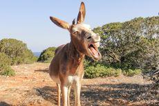 Selain Angkut Barang, Keledai Dipakai Bangsawan China untuk Main Polo
