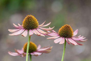 Echinacea, Tanaman Herbal Eropa dan Amerika untuk Immunomodulator