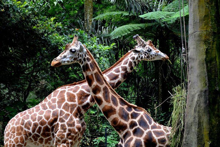 Jerapah di Taman Safari Bogor, Jawa Barat DOK. Shutterstock/Krzyztof Kowalski