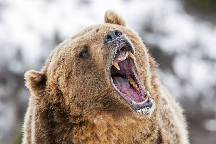 Beruang Grizzly. (Shutterstock)