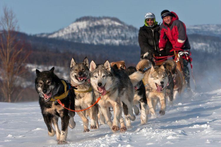 Ilustrasi anjing ras penarik kereta salju. Sejak ribuan tahun, nenek moyang anjing ras seperti Husky dan Malamut telah membantu manusia menarik beban di atas daratan bersalju.