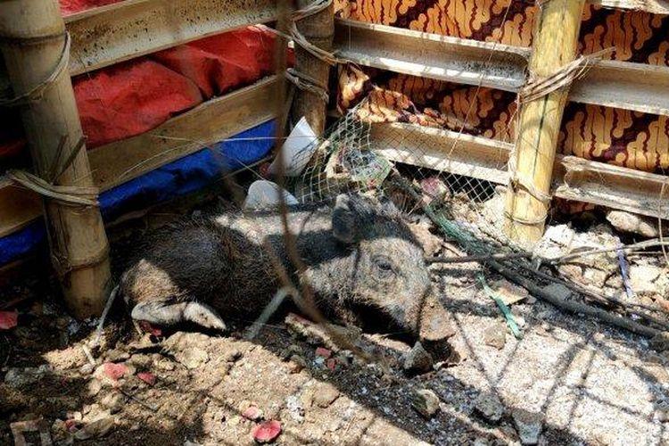 Babi yang bikin geger warga diamankan di Kelurahan Bedahan, Sawangan, Kota Depok, Selasa (27/4/2021).