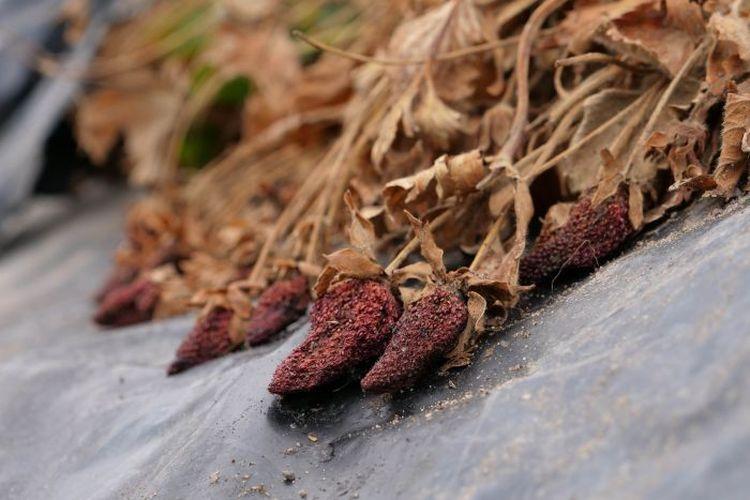 Buah stroberi ini terpaksa dibiarkan karena tidak ada yang memanen akibat petani Australia kekurangan tenaga kerja.