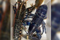 Lobster Biru Super Langka Nyaris Mati Dimasak Jadi Seafood Restoran