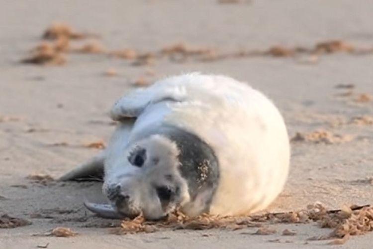Sekitar 2.000 anak anjing laut lahir di Norfolk, Inggris di tengah kuncian nasional akibat pandemi virus corona.