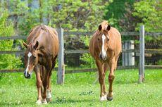 Hebat, Kuda Mengerti Bahasa Tubuh Manusia