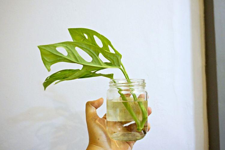 Setelah dipotong, letakkan batang yang berakar di botol kaca, vas atau gelas kaca yang diisi air.