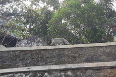 Turis Suka Menggoda, Kawanan Monyet Ekor Panjang Marah