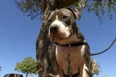 Seekor Anjing Pit Bull Selamatkan Tuannya dari Gigitan Hiu