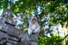 Wisata Bali, Alas Kedaton Gratiskan Tiket Masuk untuk Turis Domestik