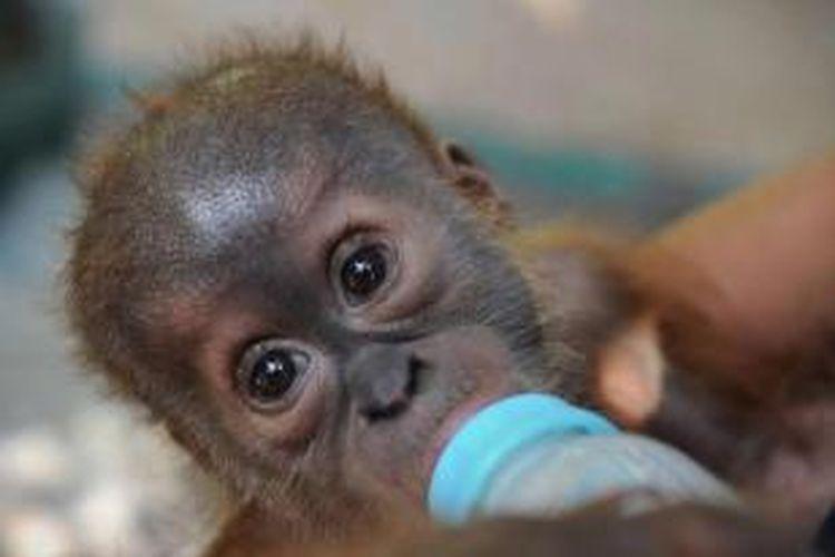 Bayi orangutan sumatera bernama Gokong Puntung yang diselamatkan setelah ibunya dipukuli pemburu, dirawat di pusat karantina Program Konservasi Orangutan Sumatera di Sibolangit, 8 April 2013.