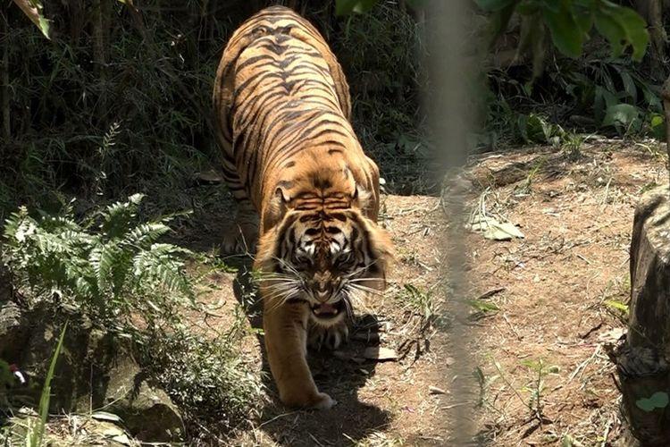Tangkapan layar video yang menunjukkan kaki depan sebelah kanan harimau Sumatera bernama Batua mengalami kebuntungan.
