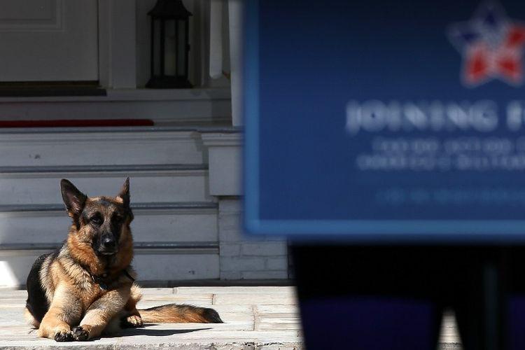 Champ, anjing kesayangan Presiden AS Joe Biden.