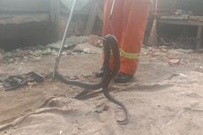 Petugas Damkar Evakuasi Kobra yang Ditangkap Pedagang Nasi Goreng di Bekasi