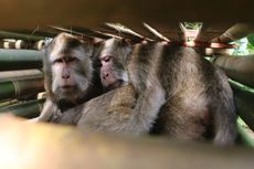 Meresahkan Warga, 120 Monyet Ekor Panjang di Gunung Ciremai Ditangkap