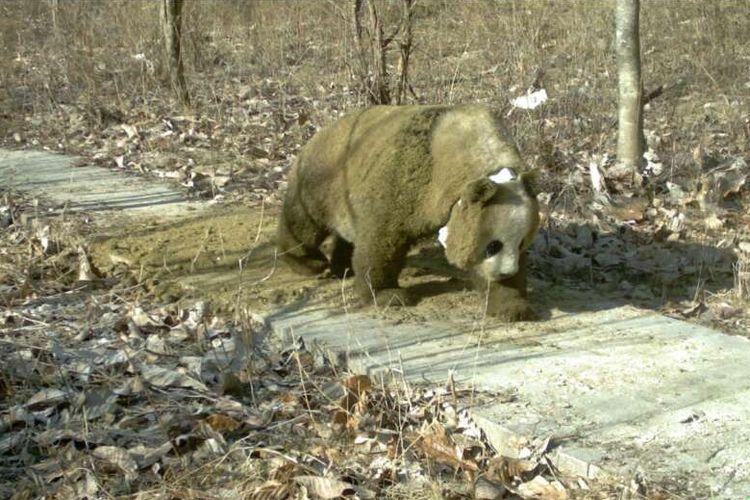 Seekor panda tertangkap kamera bergulung di atas kotoran kuda.