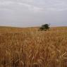 Mengenal Tanaman Serealia dan Manfaatnya