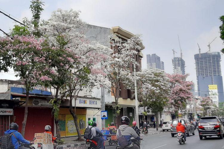 Pohon Tabebuya berjajar di ruas Jalan Mayjen Sungkono Surabaya.