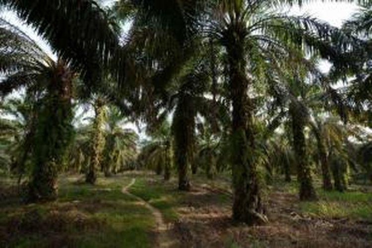 Ilustrasi kebun kelapa sawit