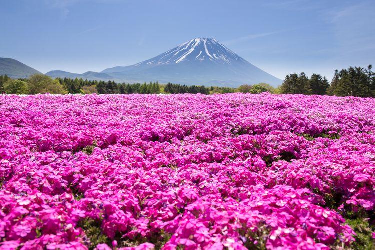 Shibazakura Festival di Jepang, bunga bermekaran dengan latar belakang Gunung Fuji
