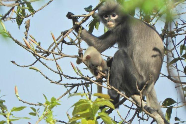 Lutung Popa, spesies baru monyet asal Myanmar hadapi kepunahan. Hewan ini memiliki ciri unik dengan lingkaran putih di sekitar mata.