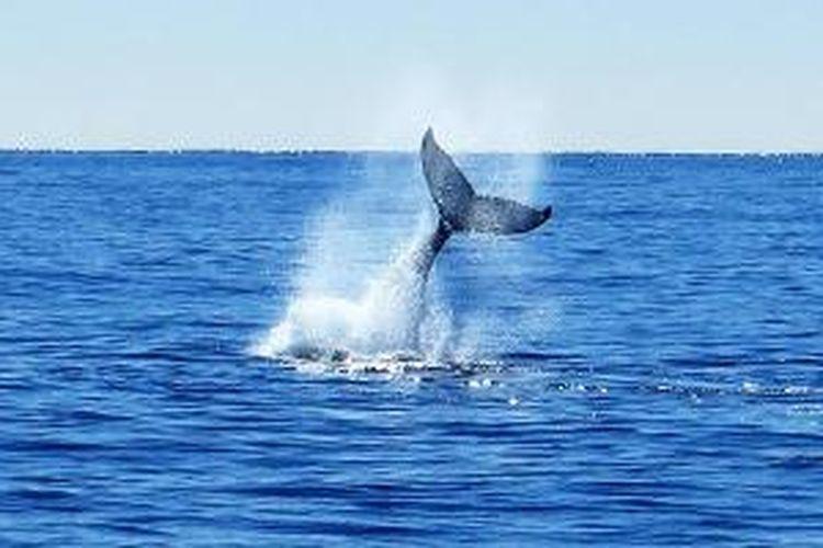 Kibasan ekor paus sperma (sperm whale, Physeter macrocephalus) di perairan Kaikoura.