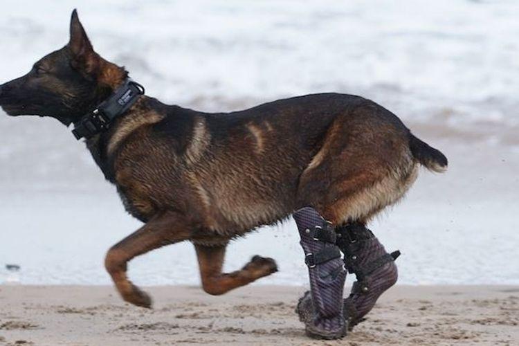 Kuno, seekor anjing Belgian Shepherd berusia tiga tahun. Dia mendapatkan penghargaan tertinggi untuk hewan di Inggris setelah menyelamatkan pasukan Inggris dari serangan Al Qaeda.