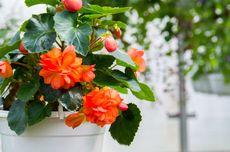 Begonia, Si Bunga Cantik yang Cocok Jadi Dekorasi Rumah