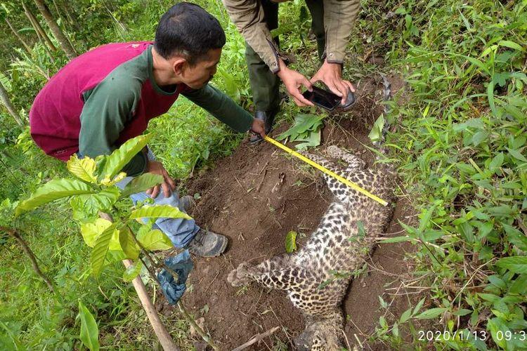 Seekor macan tutul Jawa (Panthera pardus melas) ditemukan mati di kawasan hutan Pegunungan Muria wilayahDesa Plukaran, Kecamatan Gembong, Kabupaten Pati, Jawa Tengah, Minggu (12/1/2020).