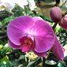 Tak Hanya Indah, Bunga Anggrek Simpan Potensi sebagai Obat Berikut Ini