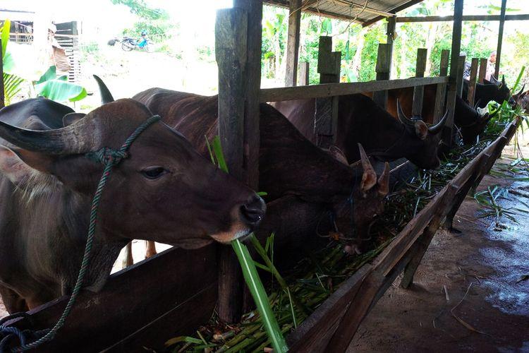 Sapi milik peternak Basri. Memastikan kesehatan sapi untuk kurban aman dari penyakit menular, Dinas Peternakan Kabupaten Nunukan memperketat pemeriksaan kesehatan sapi kurban.