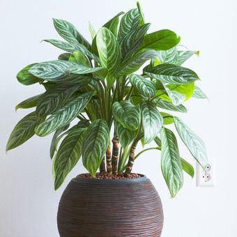 Ilustrasi tanaman hias Aglonema Brilliant.