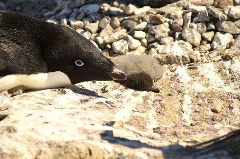 Antartika Berduka, Ribuan Anak Penguin Mati Kelaparan