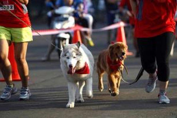 Pecinta anjing membawa anjingnya dalam acara Alpo Dog Run, di Parkir Timur, Senayan, Jakarta, Minggu (24/5/2015). Sebanyak sekitar 300 pecinta anjing turut serta dalam kegiatan yang melombakan beberapa kategori antara lain dog run, dog sprint hingga lomba kostum.