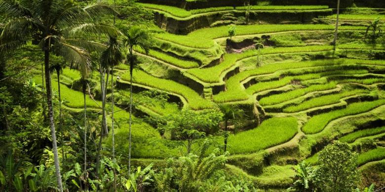 Pemerintah Jangan Malu Malu Contoh Kebijakan Pertanian Orde Baru