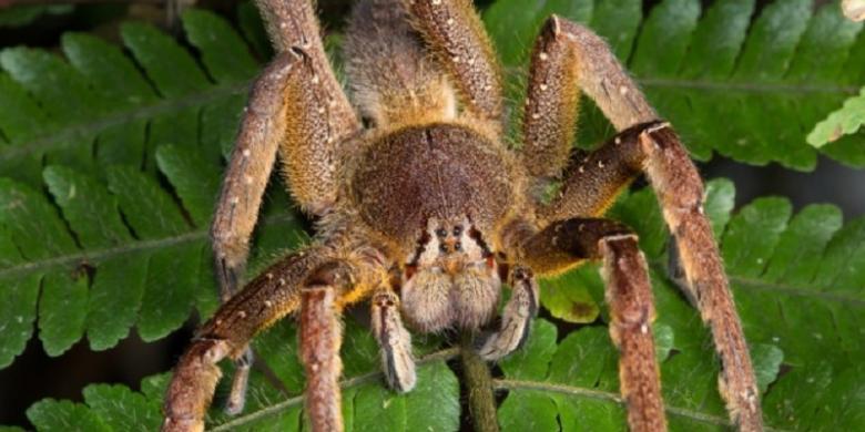 laba laba paling beracun di dunia menyimpan obat mujarab impotensi