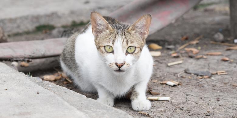 Australia Akan Basmi 20 Juta Kucing Liar - Kompas.com
