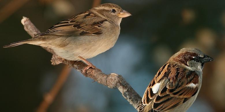 Peluang bisnis burung kicau pipit