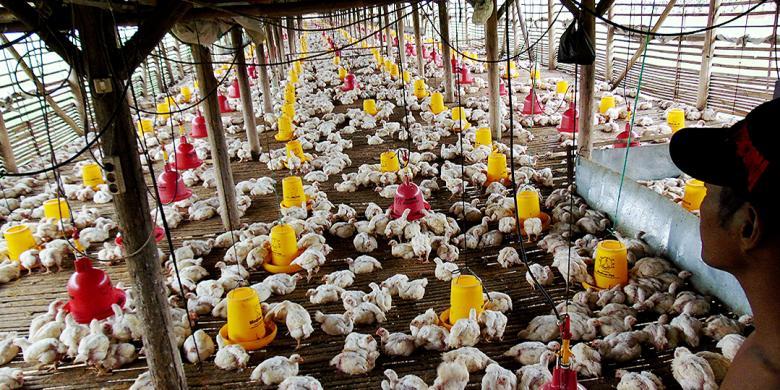 Sepekan Terakhir Harga Ayam Broiler Hidup Di Tingkat Peternak Cirebon Berangsur Anjlok