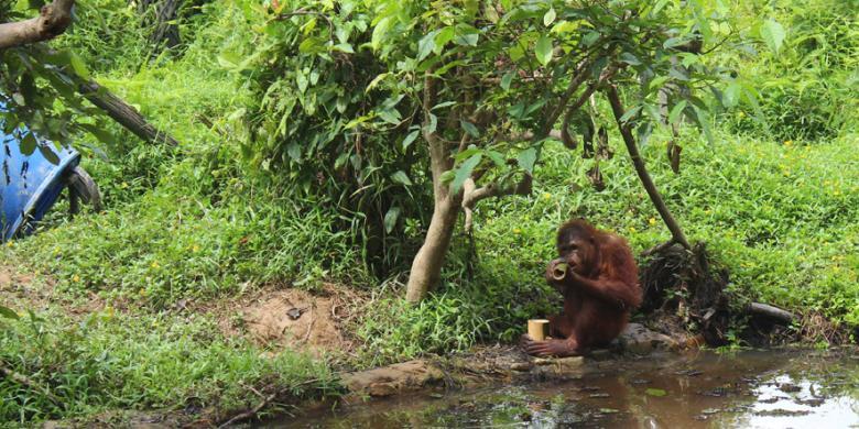 Salah Satu Pulau Di Orangutan Island Yaitu Pulau Lima Terdapat  Pasang Ibu Dan Anak Orangutan Salah Satunya Ical Yang Berumur  Tahun Anak Dari Imut