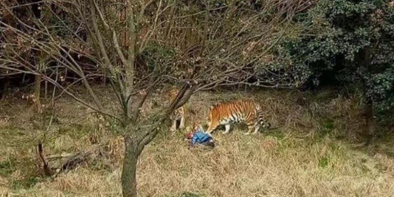 Pengunjung Kebun Binatang Di China Tewas Diserang 3 Harimau