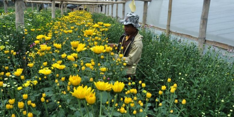 Kompas.com  Syahrul Munir Seorang petani tengah menyiangi tanaman bunga  krisan Dusun Clapar 9eef0a4d52