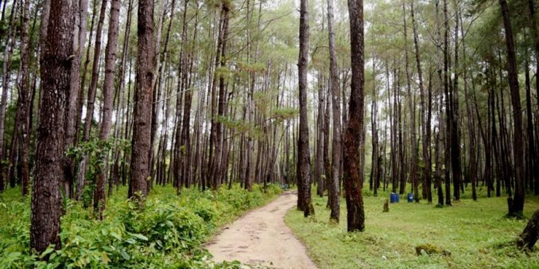 Hutan Pinus Juga Ada di Baubau Sulawesi Tenggara Kompas com