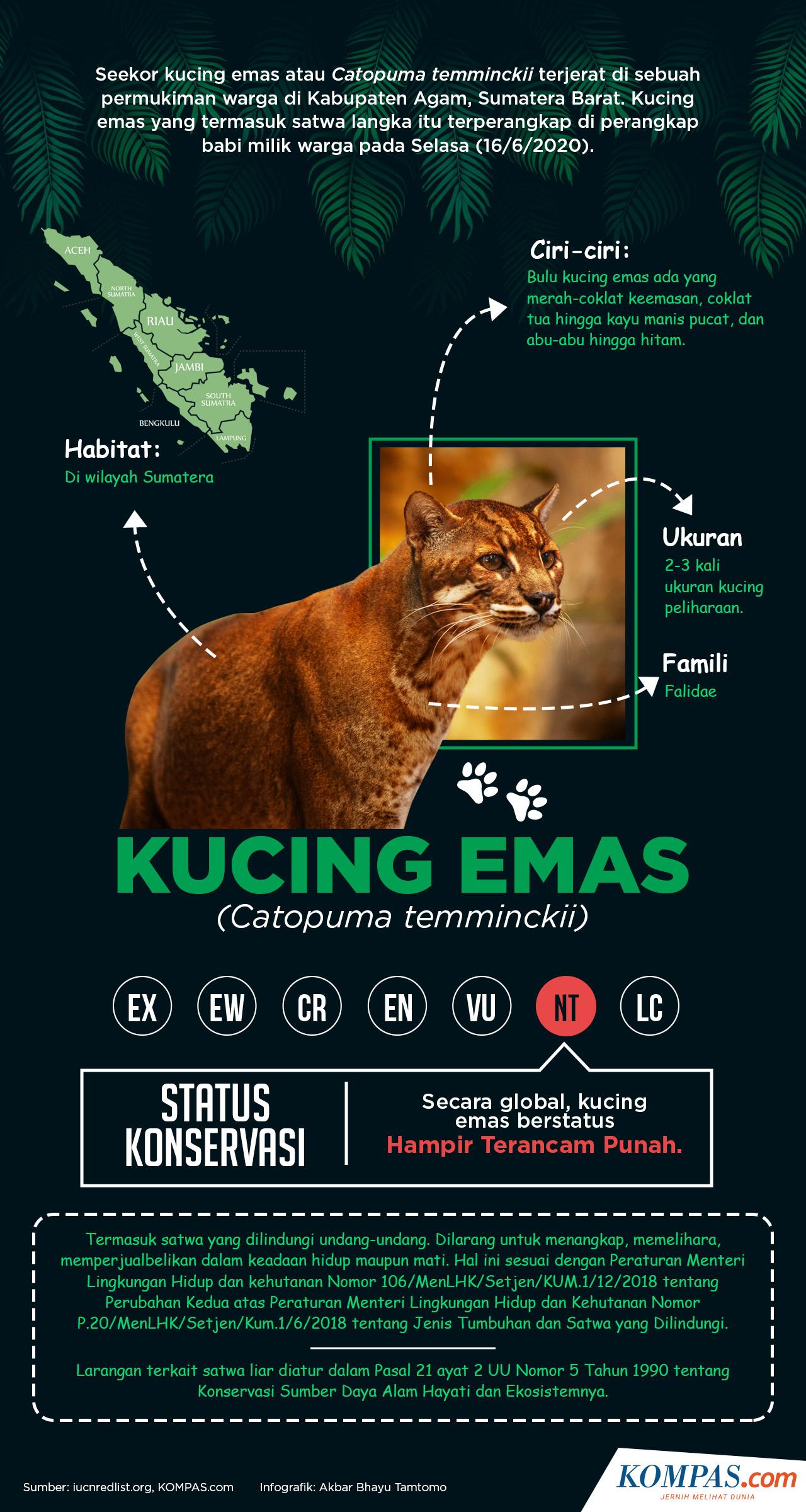 Infografik Mengenal Kucing Emas Spesies Langka Yang Hampir Terancam Punah