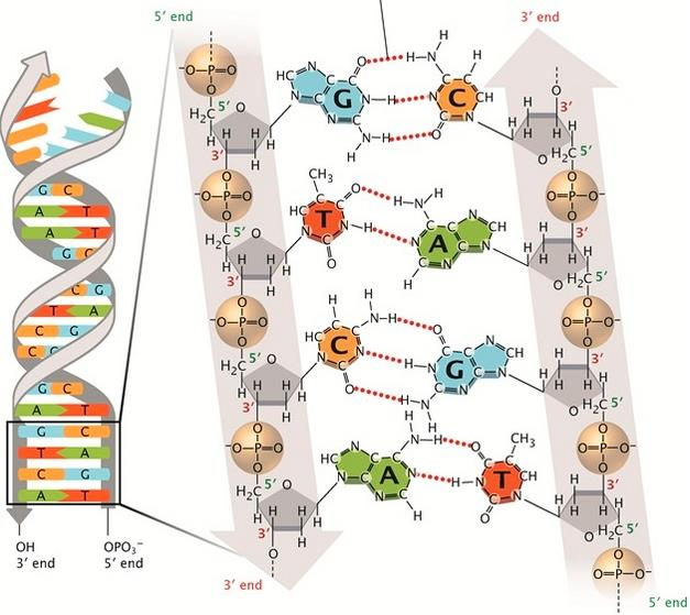 Struktur bangun DNA beserta ikatan kimianya. Basa nucleotida G akan selalu berpasangan dengan C dan T selalu berpasangan dengan A menggunakan ikatan hidrogen sebagai penggabungnya. (Pray, L. (2008).)